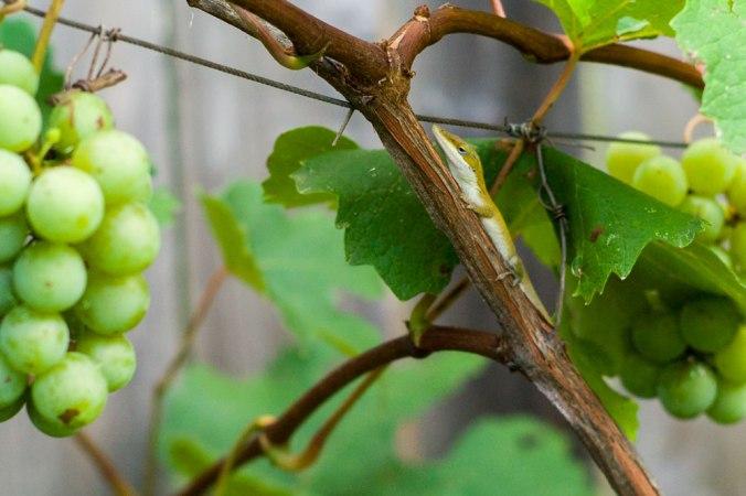 Grapes-web