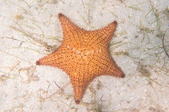 cushion_sea_star